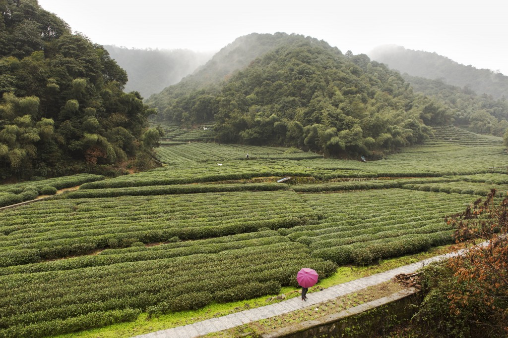 Tea plantations in the Xihu district in China.
