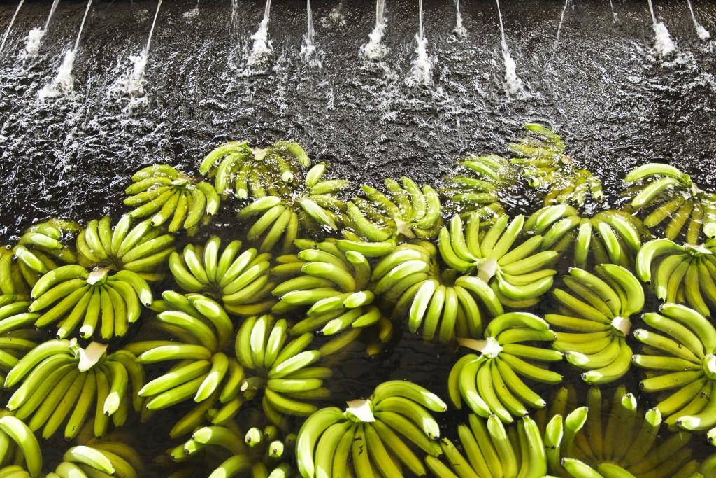 Bananas, Bananera Calinda S.A. plantation, Guacimo, Limon, Costa Rica