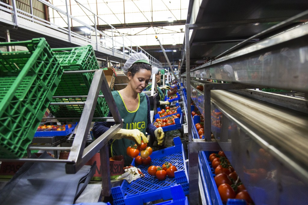 Women pack tomatoes at the CASUR SCA facilities in Almeria, Spain.