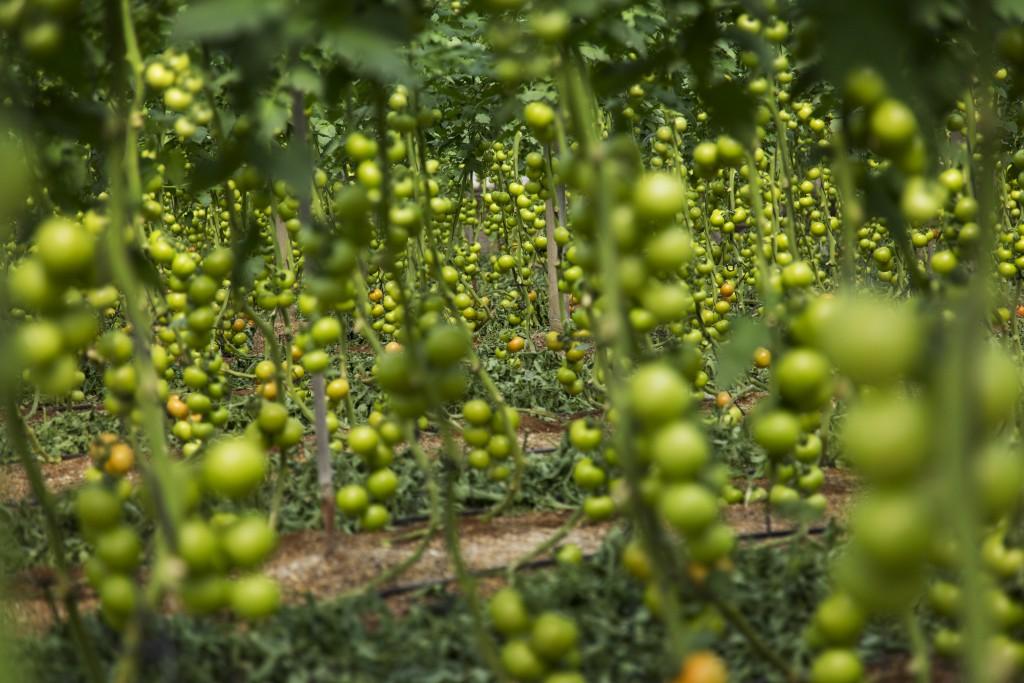 Tomatoes, AlmerÌa, Spain