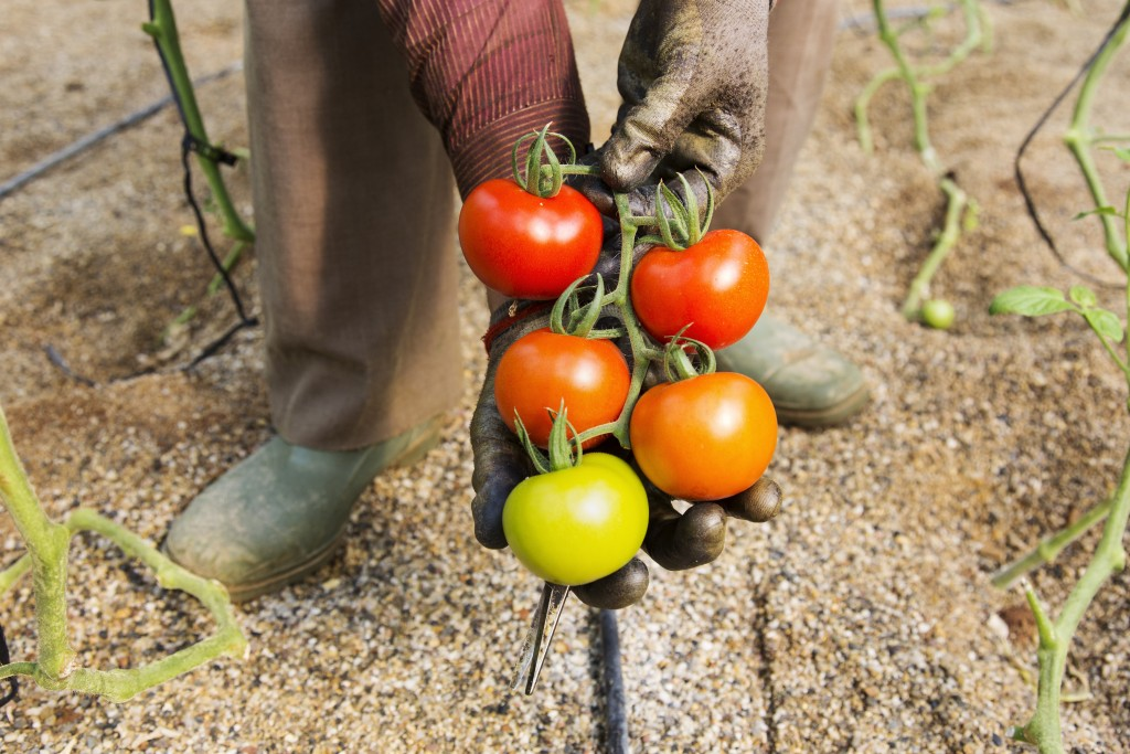 Workers harvest tomatoes on Juan Vizcaino Escamilla's farm in Nijar, AlmerÌa, Spain