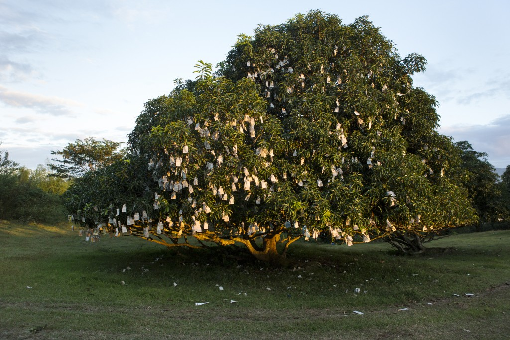 Bagged mangos on a tree. Mangos are bagged to protect them against pests ,near San Pedro, Batangas City, Philippines.