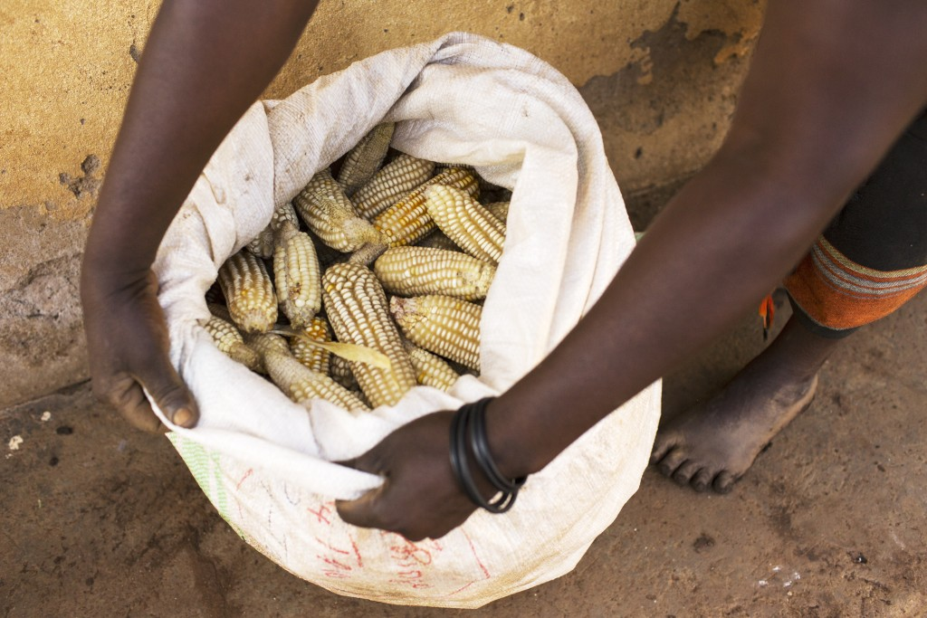 Maize farmer Grace Maku opens a bag of maize , Namulonge, Uganda