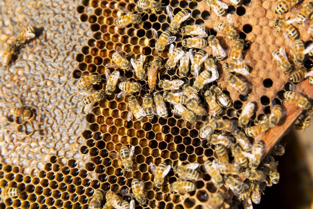 A bee hive frame with the queen in the centre in an almond grove in Shafter, California.